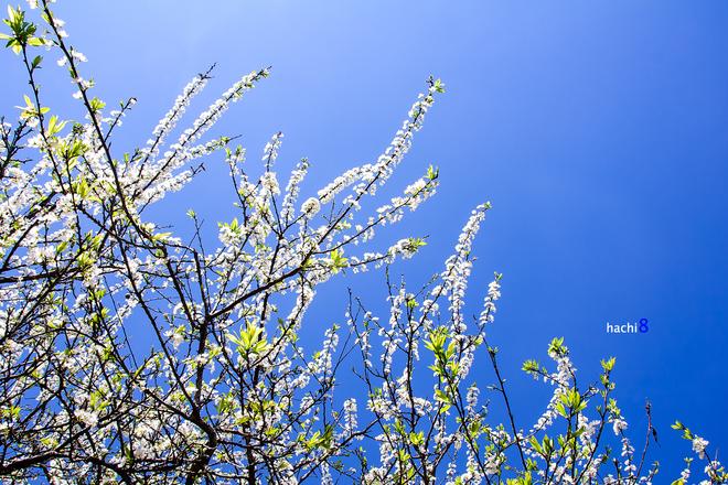 Cành hoa mận dưới nắng