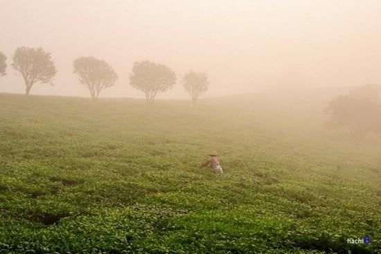 Đồi chè Mộc Châu trong sương sớm