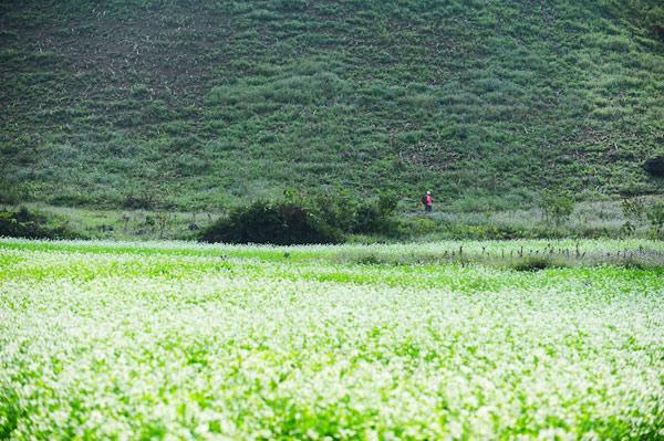 Hoa cải mọc cạnh triền núi