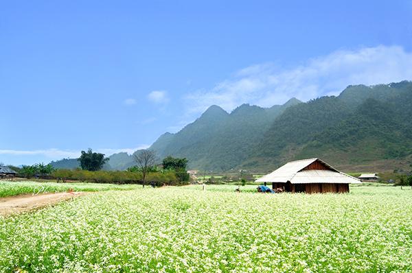 Cánh đồng hoa cải lung linh dưới nắng